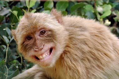 smiling-monkey