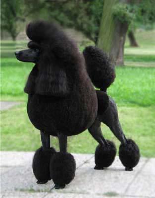 lampard-poodle