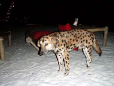 leopard-dog