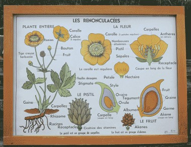 French poster buttercups